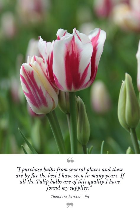 Customerreview Tulip Flaming Club S Candy Cane Colors Are Both Pretty And Fun You Get A Bouquet Of Two Or Three Bloss Bulb Flowers Outdoor Flowers Flowers