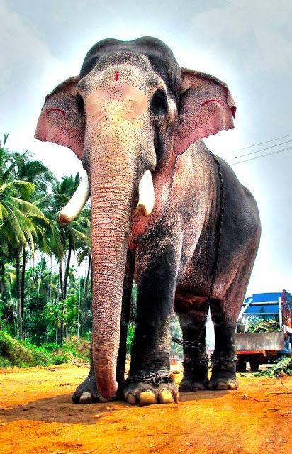 Kuttankulangara Arjunan Kerala Elephant Aanachandam Kerala