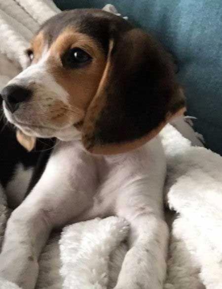 Beagle Puppy Profile Picture Puppy Cute Doglover