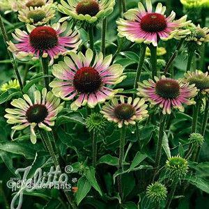 Green Twister Coneflower Garden Plants Perennials Shade Perennials
