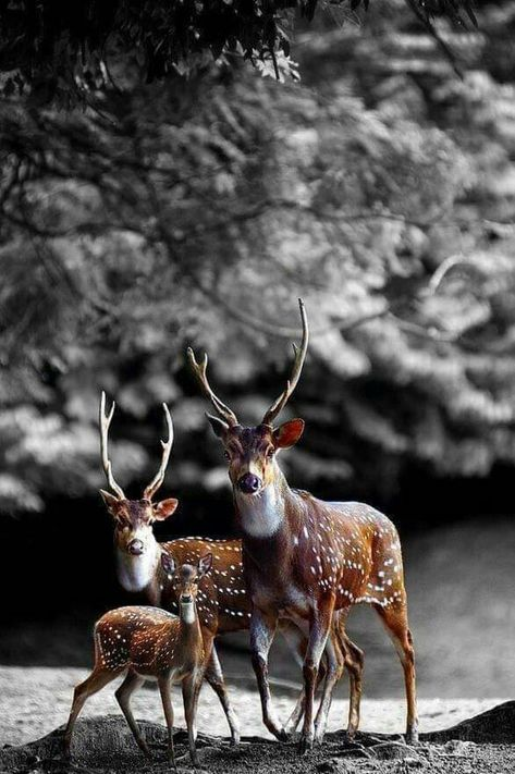 List of Pinterest deer photography black and white animals