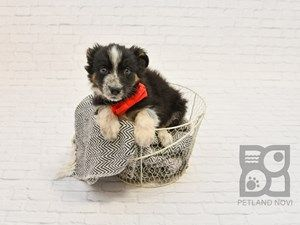 Australian Shepard Puppy For Sale Petland Novi Michigan Puppy