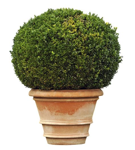 How To Make Ball Bushes Boxwood Garden Topiary Garden Garden