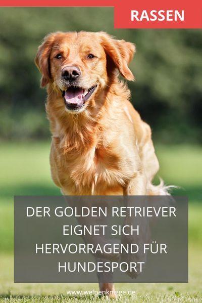 Der Golden Retriever Im Rasseportrait In 2020 Retriever Welpen Welpen Golden Retriever