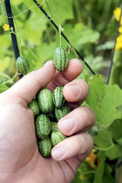 Sow The Seeds Of Cucamelons During April And May The Seeds Should