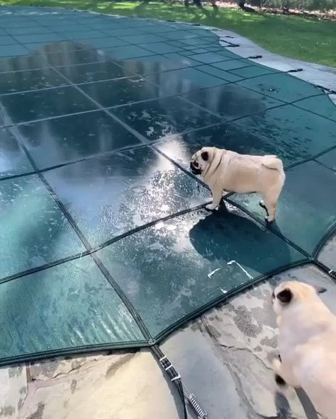 """Pug on Instagram: """"When you're coming in hot and can't wait to get this pool open!💙 🎥 @otisthepugwalsh . . . #pug #pugsofinstagram #pug_feature #puggy…"""""""