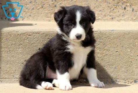 Border Collie Puppy Do You Love Cute Dogs Like This Follow Our Petsdope Pinterest Account T Border Collie Puppies Collie Puppies For Sale Collie Puppies