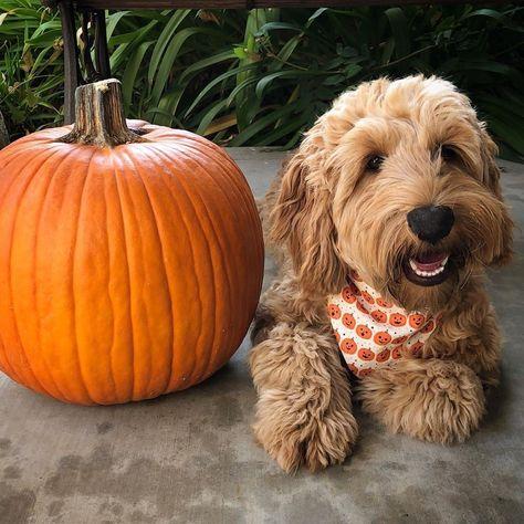 Ready to carve that pumpkin? 🎃 @goodboy_gideon