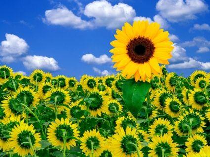 Wallpaper Bunga Sinar Matahari Sinar Matahari Bunga Bunga Alam Menyaring Mekar Musim Semi Kemb Amazing Flowers Photos Sunflower Wallpaper Sunshine Wallpaper
