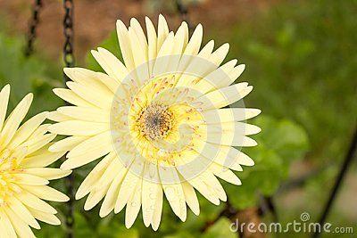 Yellow Gerbera Daisy Fresh After The Rain Rain Drops Bead Up On