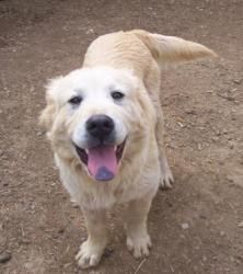 Jeb Is An Adoptable Great Pyrenees Dog In Madison Tn Jeb Is A Very Kick Back Dog He Is About 3 Years Old He Has Cool Things That Make Me Smile Great