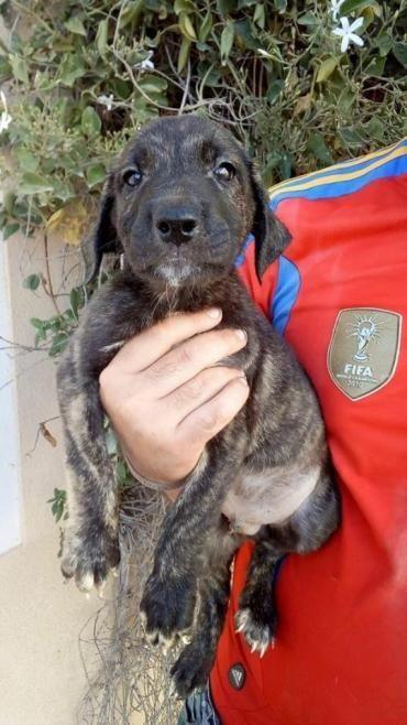 Hund Welpe Deutsche Dogge Mischling Rude 2 Monate Spanien