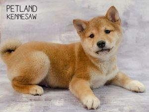 Three Thrilling Facts About Shiba Inu Puppies For Sale Fabulous