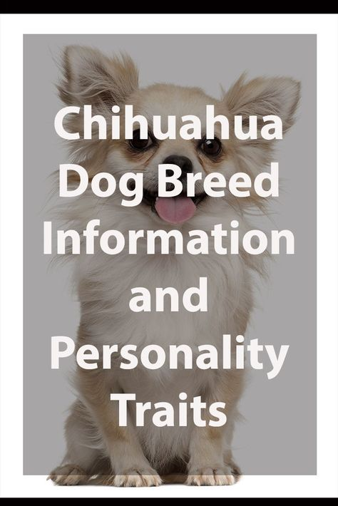 Chihuahua Breed Information Chihuahua Breeds Chihuahua Dogs