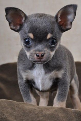 Training Chihuahuas With Praise And Affection Chihuahua Puppies