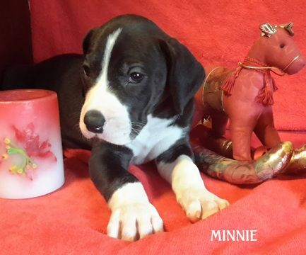 Litter Of 3 Great Dane Puppies For Sale In Spraggs Pa Adn 59971