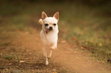 Dog photography. Poses. White Chihuahua. Forest. Swedish nature. By Swedish photographer Maria Lindberg. #Chihuahua #Dog #forest #nature #Phot #Photography #Poses #Swedish #white
