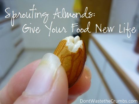 Sprouting Almonds, Giving Food New Life. A tutorial with pictures on sprouting almonds, plus the benefits of sprouting in general.