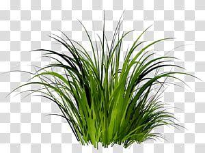 Grass Flower Alpha Compositing Plant Grass Family Herb Sweet Grass Chives Terrestrial Plant Transparen Grass Flower Grass Textures French Lavender Plant