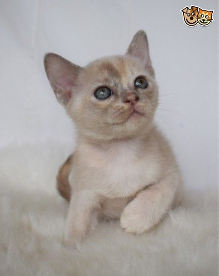 Show Quality Burmese Baby Burmese Kittens Burmese Kittens