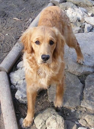 A Miniature Golden Retriever Is Standing On Rocks And Looking Up