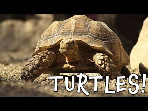 Turtles Turtle Facts For Kids Youtube Turtle Facts For Kids Turtle Facts Facts For Kids