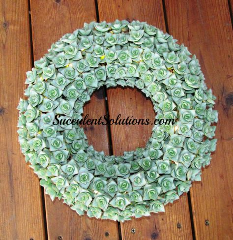 12 Inch Succulent Wreath With All Crassela Succulents With Images Succulent Wreath Wreaths Metal Wreath Frame
