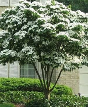 Kousa Dogwood Tree Kousa Dogwood Tree Patio Trees Dogwood Trees