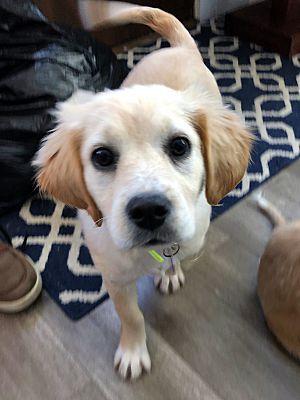 Schaumburg Il Golden Retriever Meet Blanche A Pet For Adoption