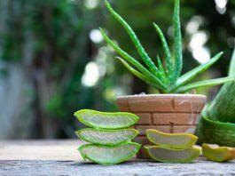 Echte Aloe Pflege Der Zier Und Heilpflanze Pflanzen Heilpflanzen Und Exotische Pflanzen