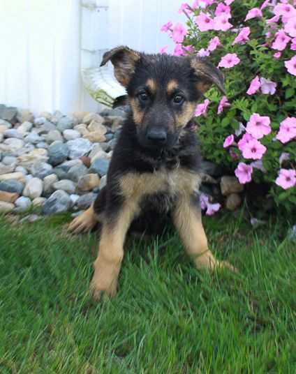 Breed Boxer Gender Female Registry Akc Personality Fun Loving Meet Minnie She Is Loving German Shepherd Pu Puppies For Sale Puppy Breeds Cute Puppy Breeds
