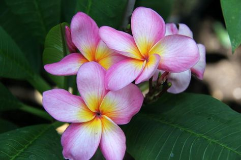 """ROOTED PLUMERIA PLANT Seedling /""""Salmon Brown/"""" 2-3/"""""""