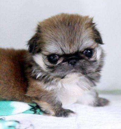 1000 Images About Teacup Pekingese Pekingese Puppies Pug Puppies Pekingese Dogs