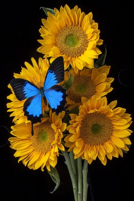 """""""Sunflower bouquet"""" by Garry Gay, Santa Rosa, California // Sunflower bouquet  // Imagekind.com -- Buy stunning, museum-quality fine art prints, framed prints, and canvas prints directly from independent working artists and photographers."""