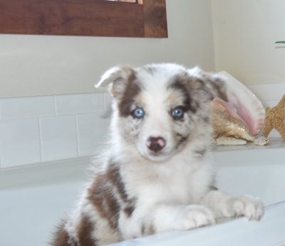 2j2k Border Collies Puppies For Sale Border Collie Puppies That