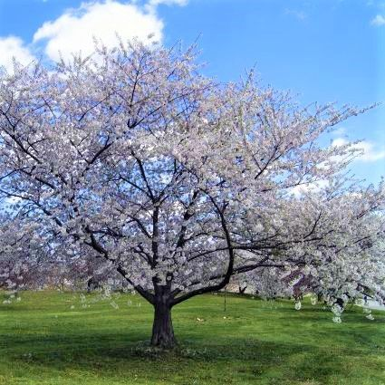 Prunus Avium Bing Bing Cherry Cherry Trees Garden Bing Cherries Cherry Tree