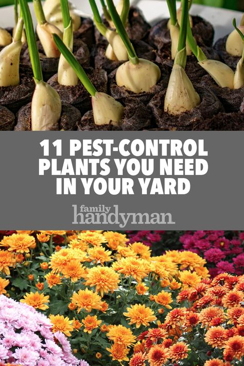 11 Pest-Control Plants You Need in Your Yard