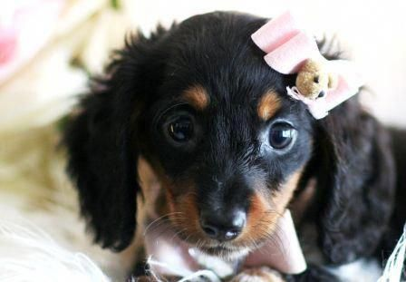 Dachshund Friendly And Curious In 2020 Daschund Puppies Baby