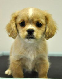 Pekalier A Pekingese And Cavalier Cute Dogs Pets Puppies
