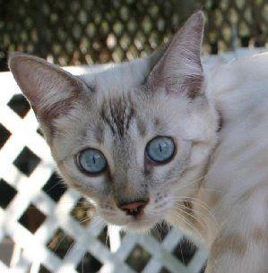Snow Bengal Kittens Snow Bengal Kittens For Sale Bengal Cats For Sale Bengal Kittens For Sale Florida Snow Bengals In 2020 Grey Bengal Cat Bengal Cat Bengal Kitten