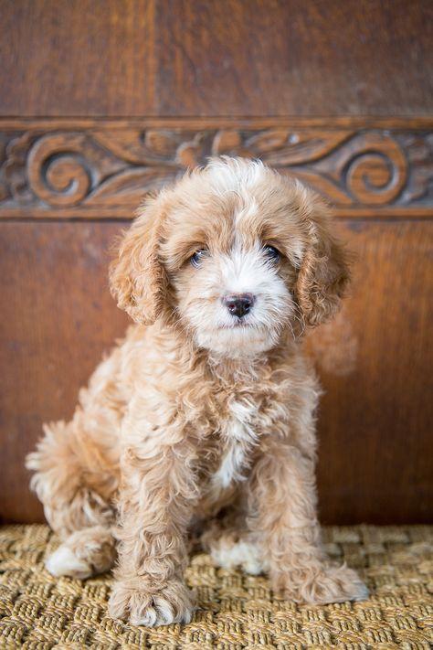 Duchess Cavoodles Gympie Qld Breeder Puppies Dogs Animals