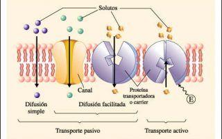 Transporte Celular Biologia Biologia Transporte Pasivo Fisiologia