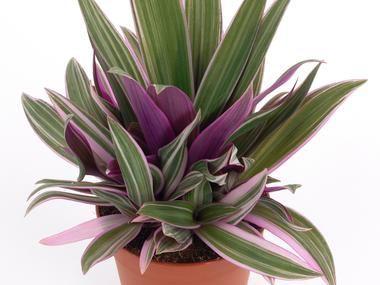 Reo Meksykanskie Doniczkowe Baza Roslin Plants Floral Desing Indoor Garden