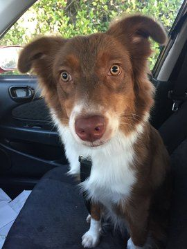Australian Shepherd Puppy For Sale In Orlando Fl Adn 71586 On