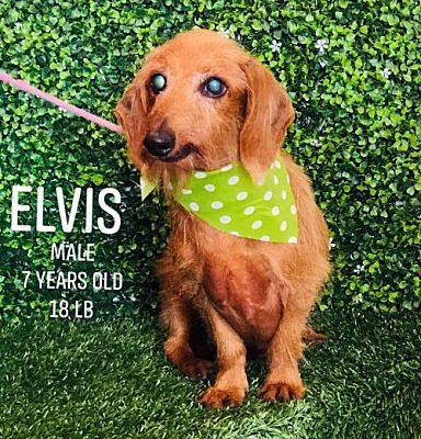 Chino Hills Ca Dachshund Meet Elvis Chino Hills A Pet For