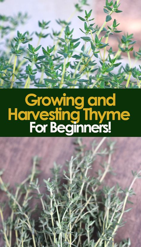 Beginners' Guide to Growing and Havesting Thyme!