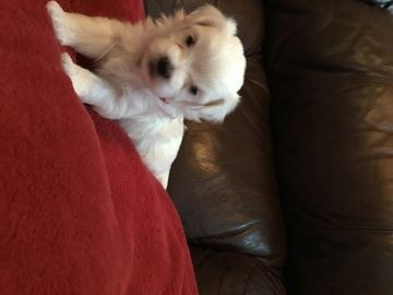 Maltese Puppy For Sale In Hampton Ga Usa Adn 61921 On