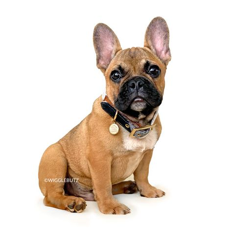 French Bulldog Puppies For Sale French Bulldog Puppies Bulldog