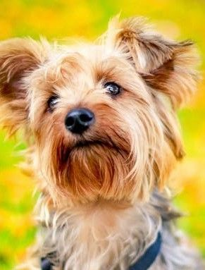 Liver Shunt In Dogs Is A Serious Matter Yorkie Good Morning Picture