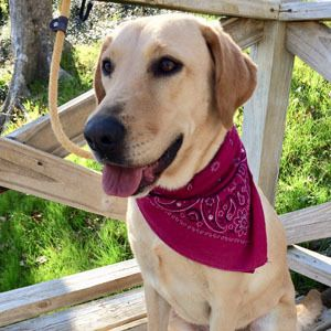 Adopt Chloe 45 On Petfinder Yellow Labrador Retriever Pet Search Help Homeless Pets